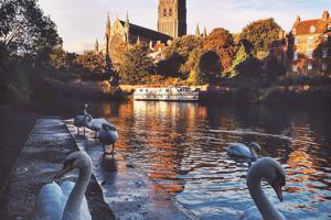 swans beside a river with worcester cathedral in the background