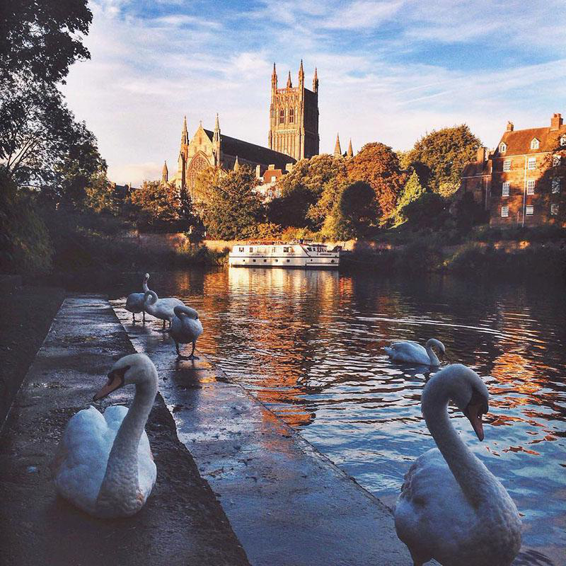 swans beside a river with worcester cathedral in 日e background